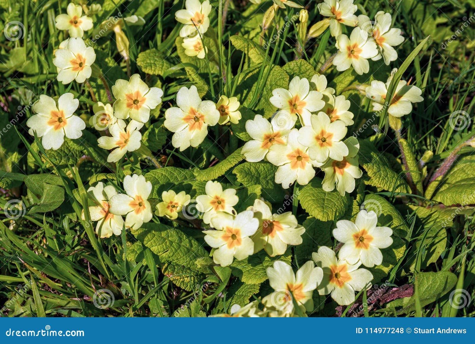 Primevères sauvages - primevère vulgaris, parc de Croome, Worcestershire