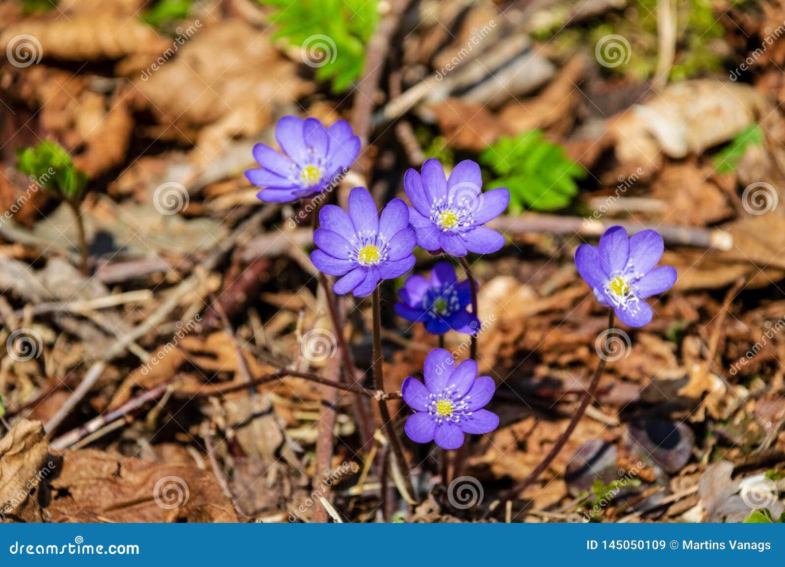 Primi fiori blu che fioriscono nella foresta di primavera
