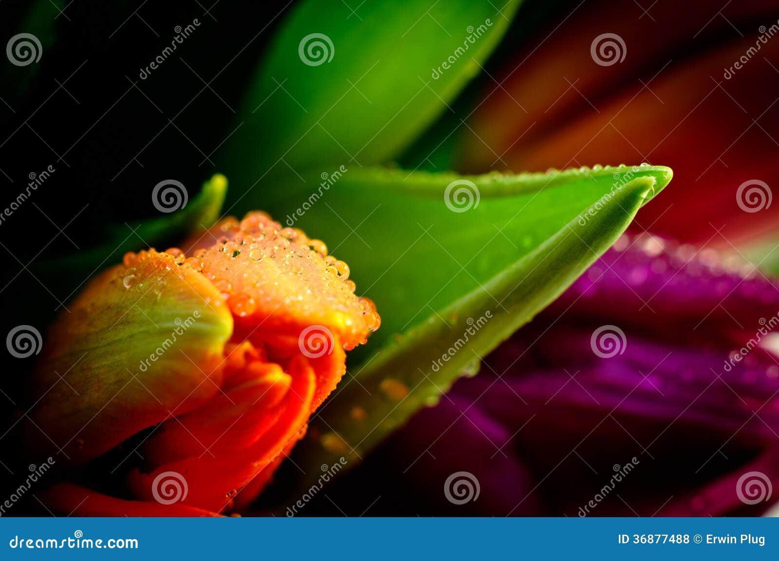 Download Primo Piano Arancio Waterdrops Del Mazzo Dei Tulipani Bagnato Fotografia Stock - Immagine di miscela, tulip: 36877488