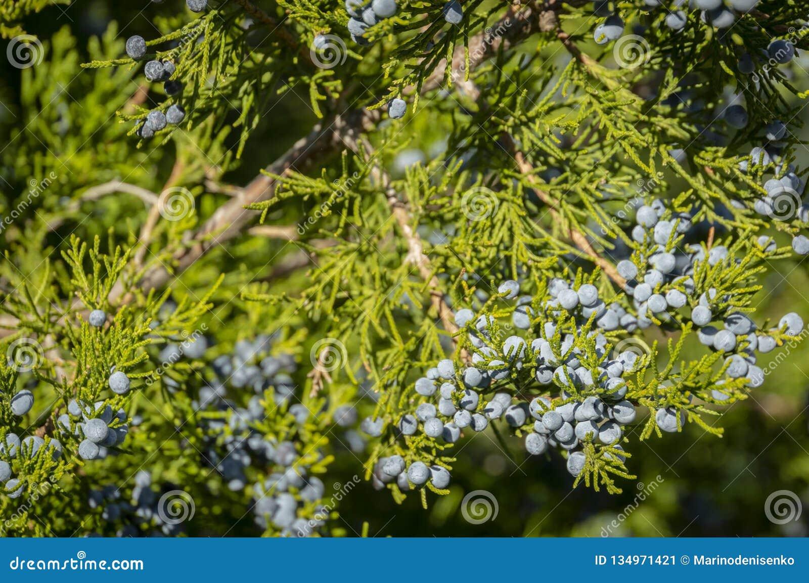 Primo piano blu delle bacche di ginepro sui rami verdi contro lo sfondo di bella sfuocatura Bello naturale