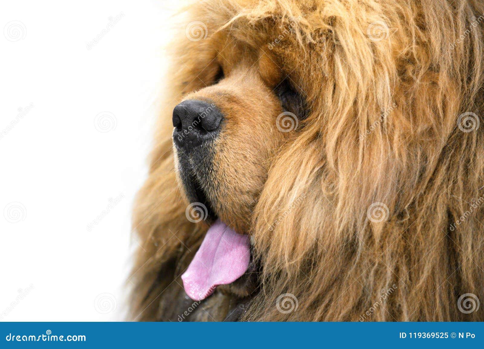 Primo piano Cinese-cresciuto rosso del ritratto del cane del mastino tibetano su fondo bianco