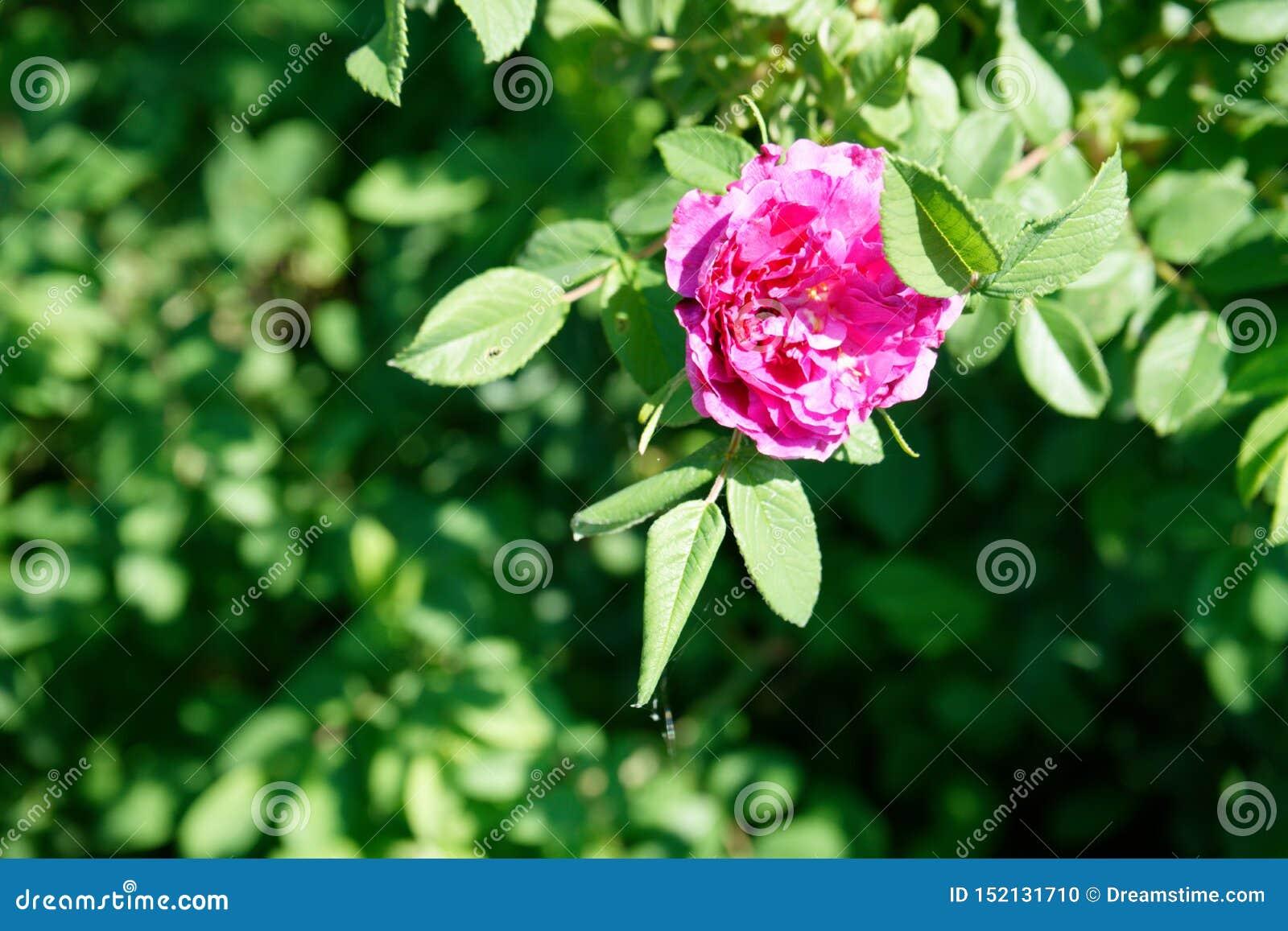 Primo piano decorativo rosa luminoso del cinorrodo