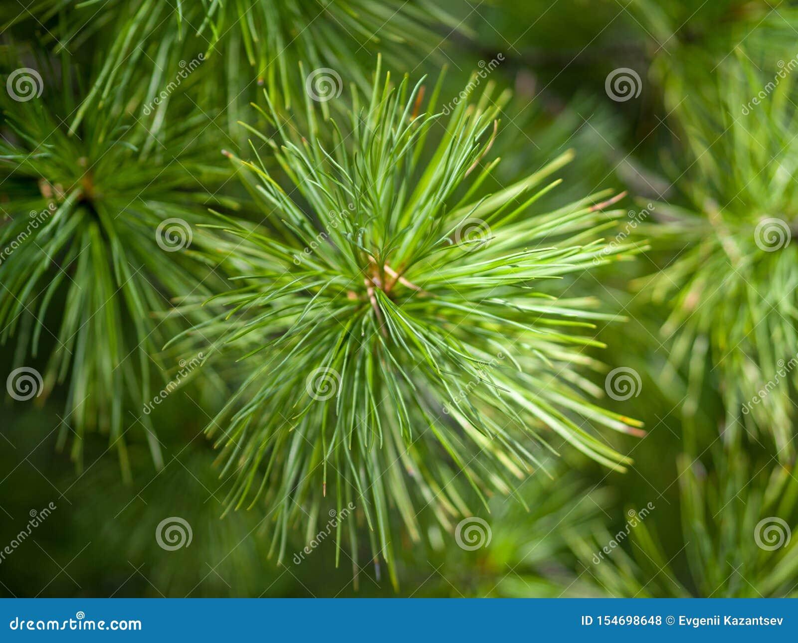 Primo piano degli aghi verdi del cedro