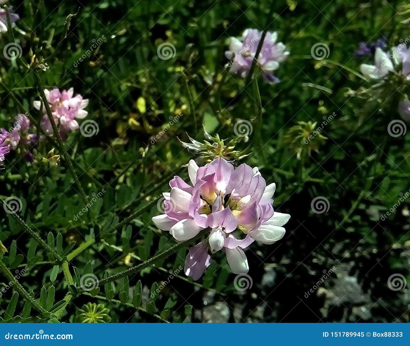 Primo piano dei fiori del pisello selvaggio contro lo sfondo di fogliame verde