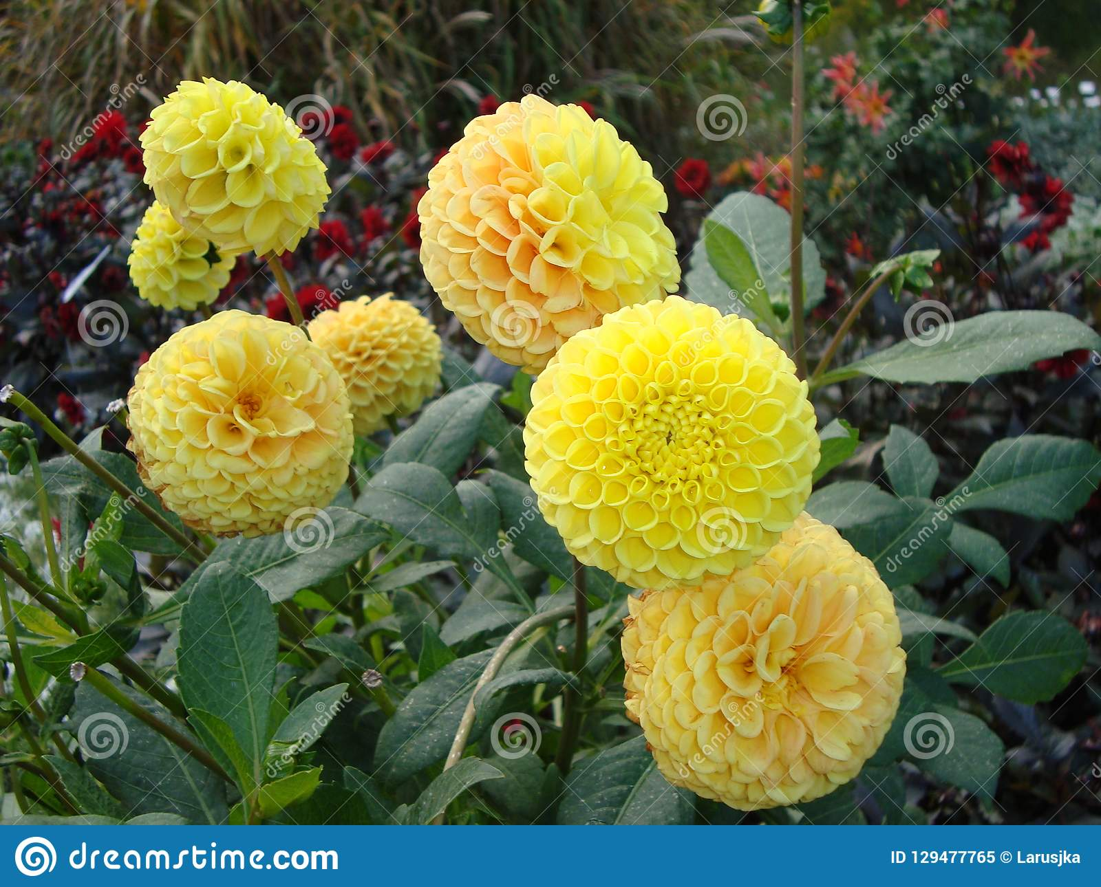 Primo piano dei fiori magnifici vibranti di una dalia del limone