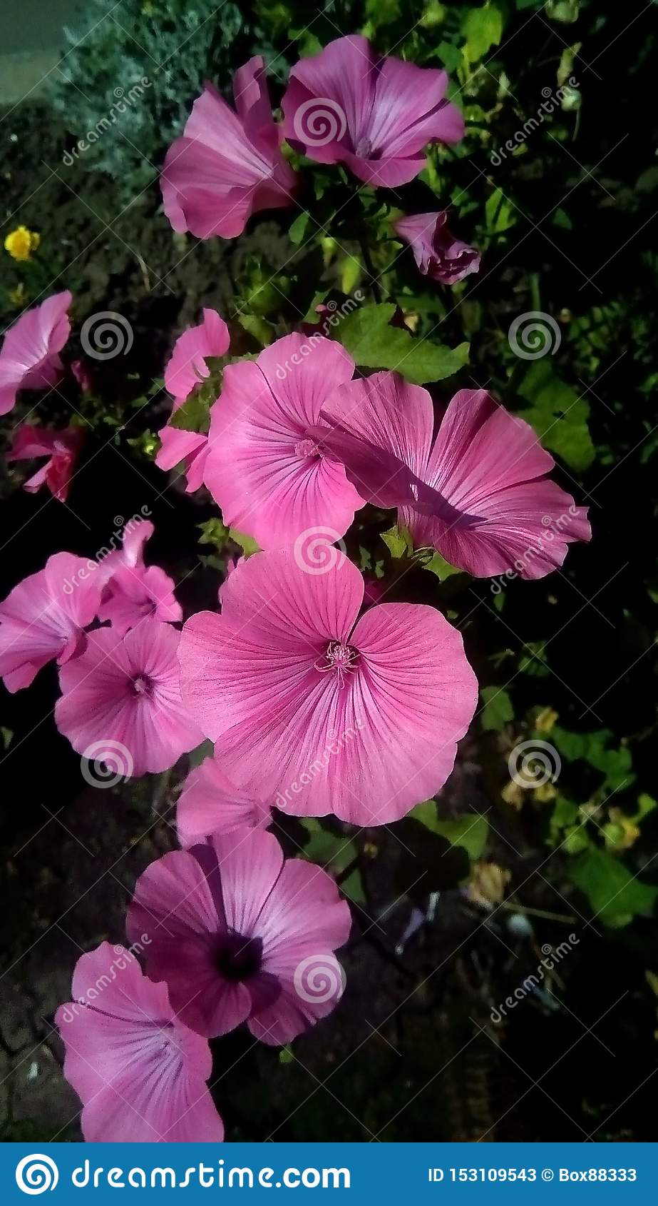 Primo piano dei fiori rosa su un fondo delle foglie verdi Bei fiori sotto forma di grammofono