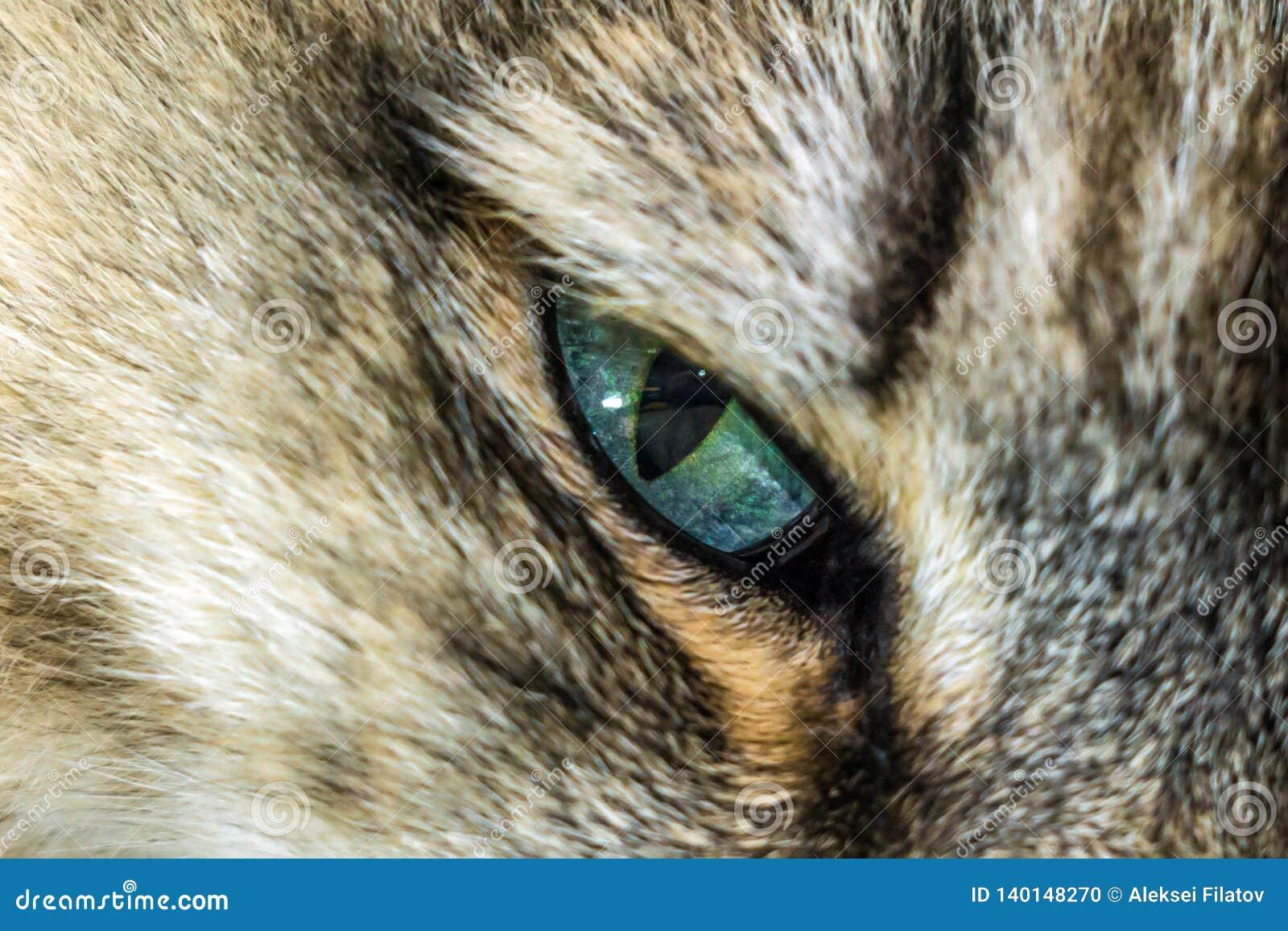 Primo piano dei gatti degli occhi azzurri