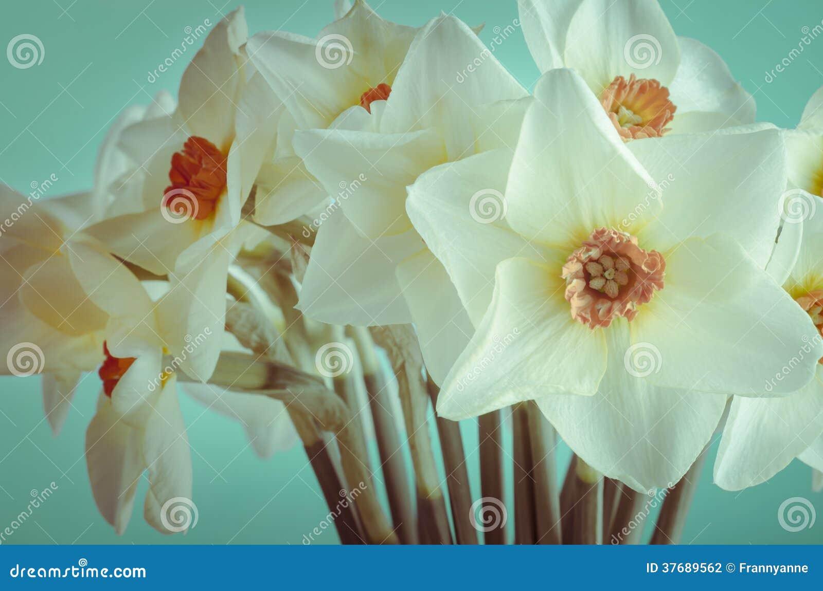 Primo piano dei narcisi della primavera - incrocio elaborato