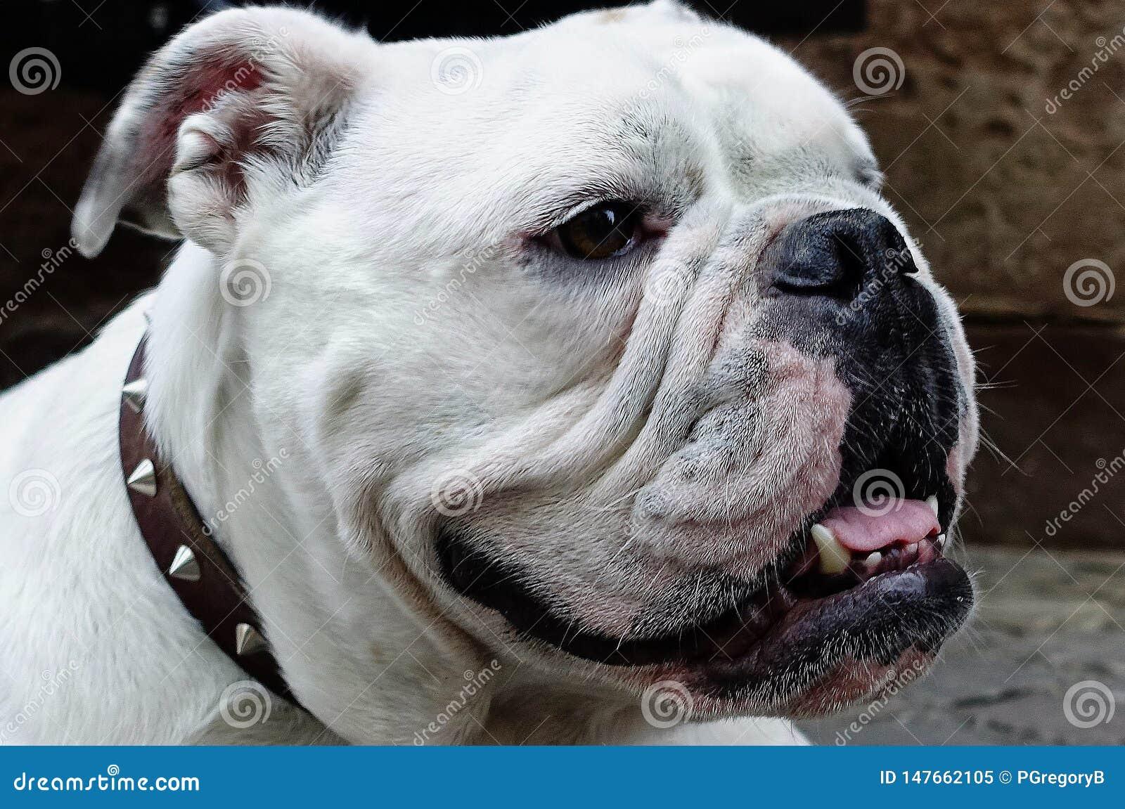 Primo piano del bulldog bianco splendido con un fronte solo sua madre potrebbe amare