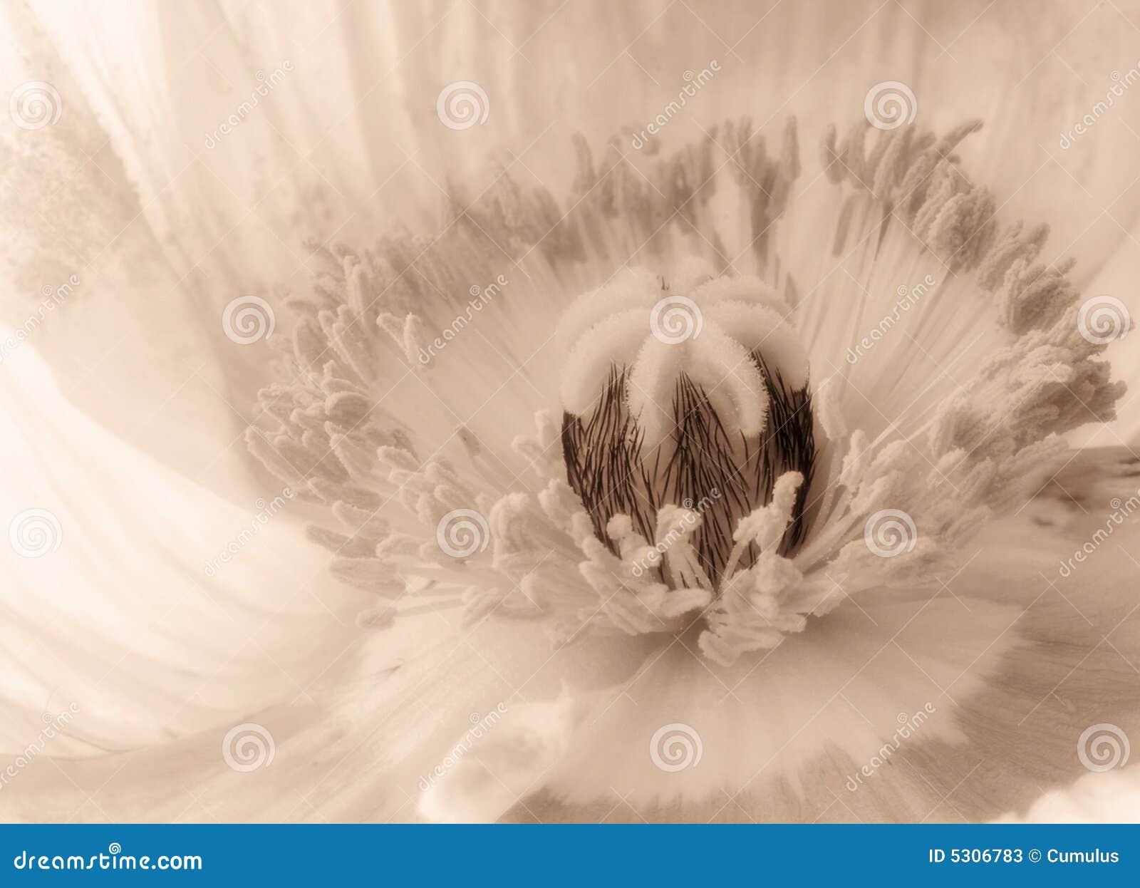 Download Primo piano del fiore immagine stock. Immagine di sepia - 5306783