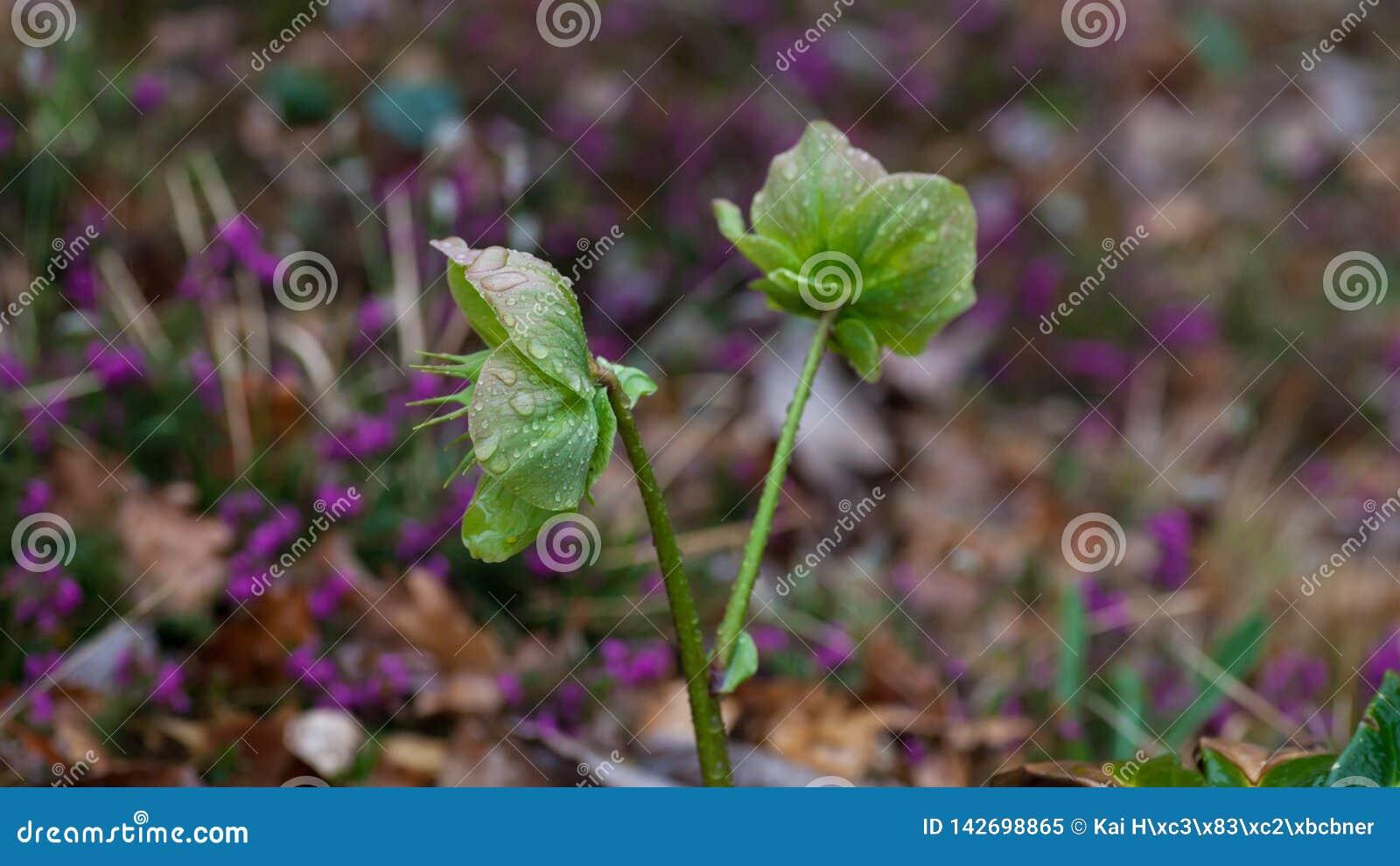 Primo piano del fiore dell elleboro con le gocce di acqua