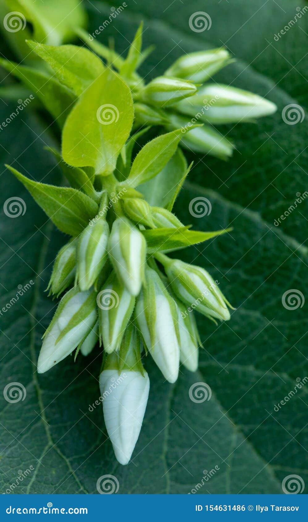 Primo piano del flox bianco su uno sfondo naturale verde Bello flox bianco Piccoli germogli bianchi di un fiore del giardino