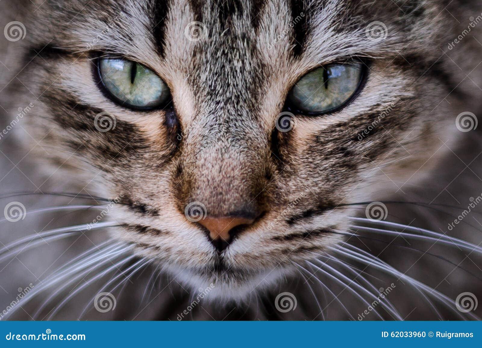 Primo piano del gatto fotografia stock immagine di for Piani principali del primo piano