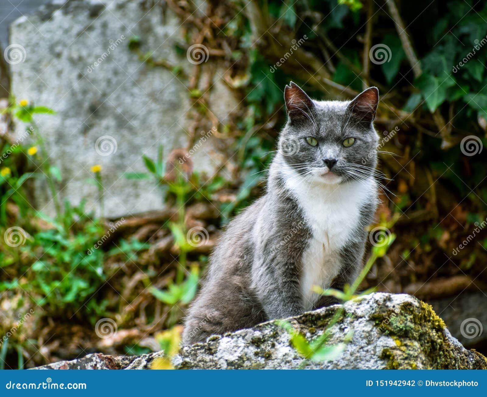 Primo piano del gatto che posa su una pietra, esaminante ribelle la macchina fotografica