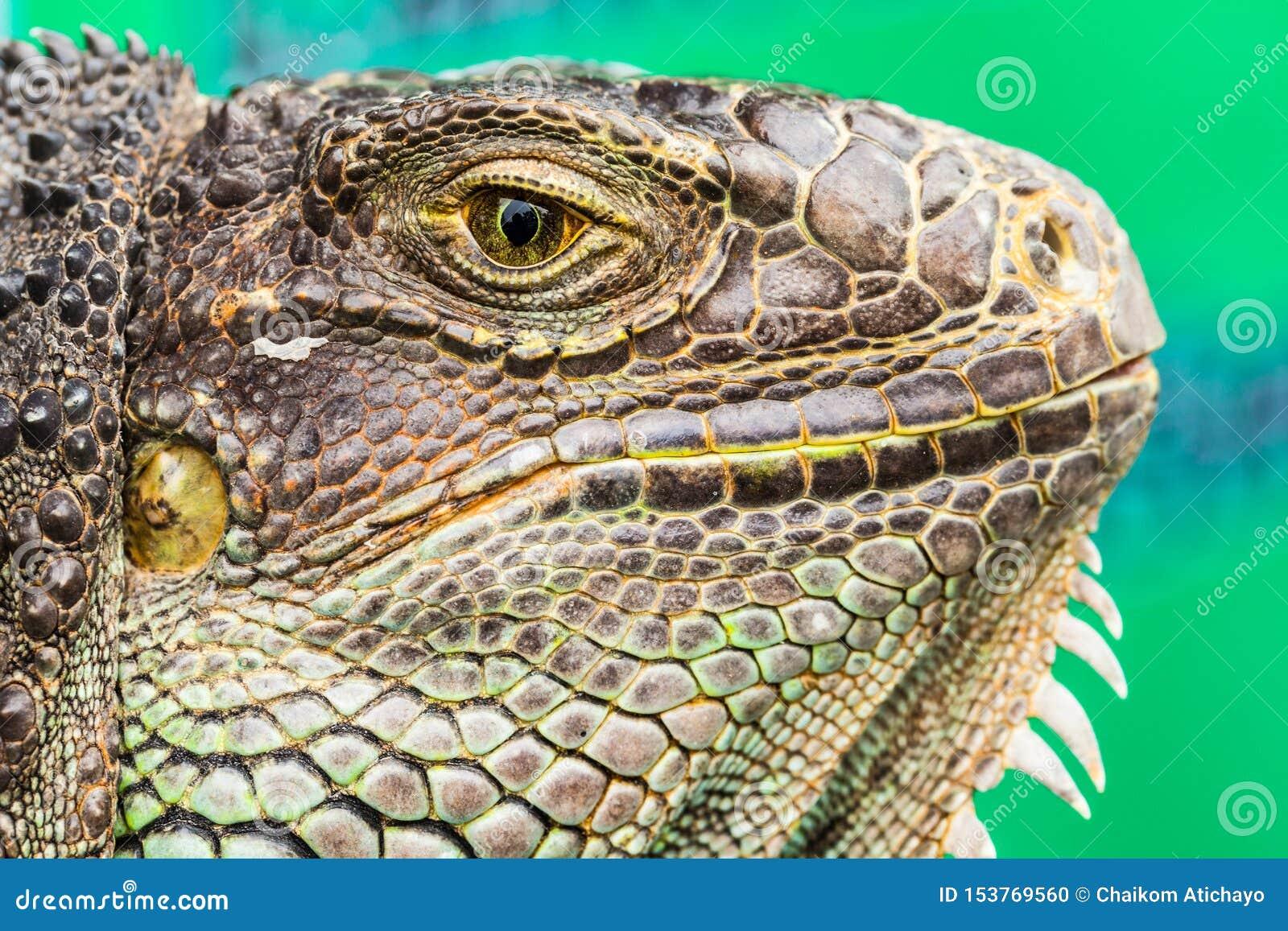 Primo piano del ritratto dell iguana