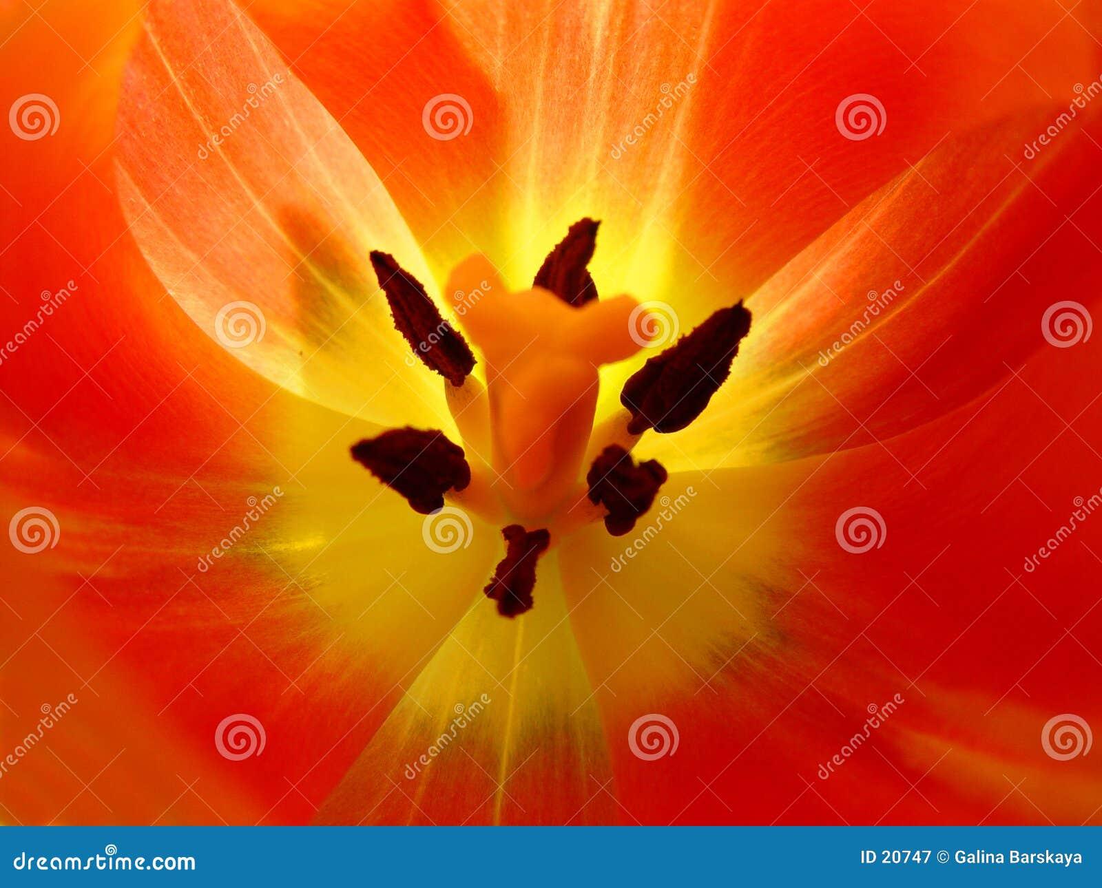Primo piano del tulipano