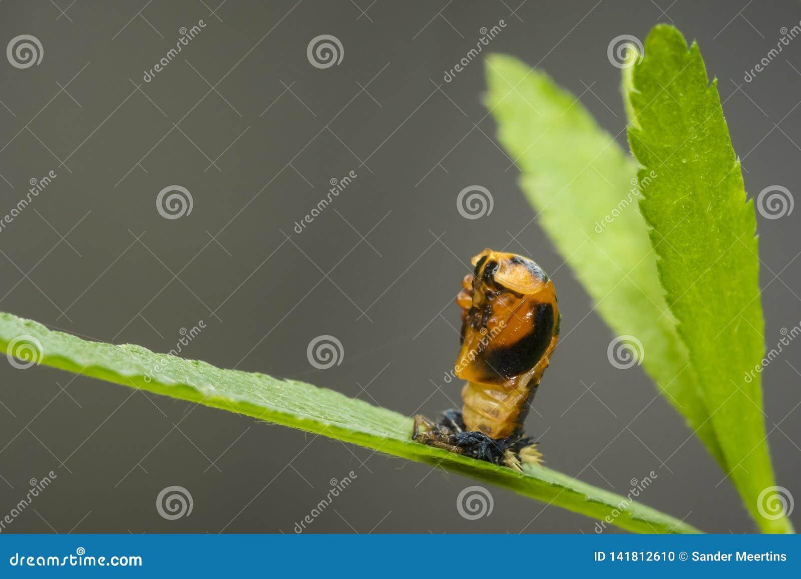 Primo piano dell insetto della larva della coccinella