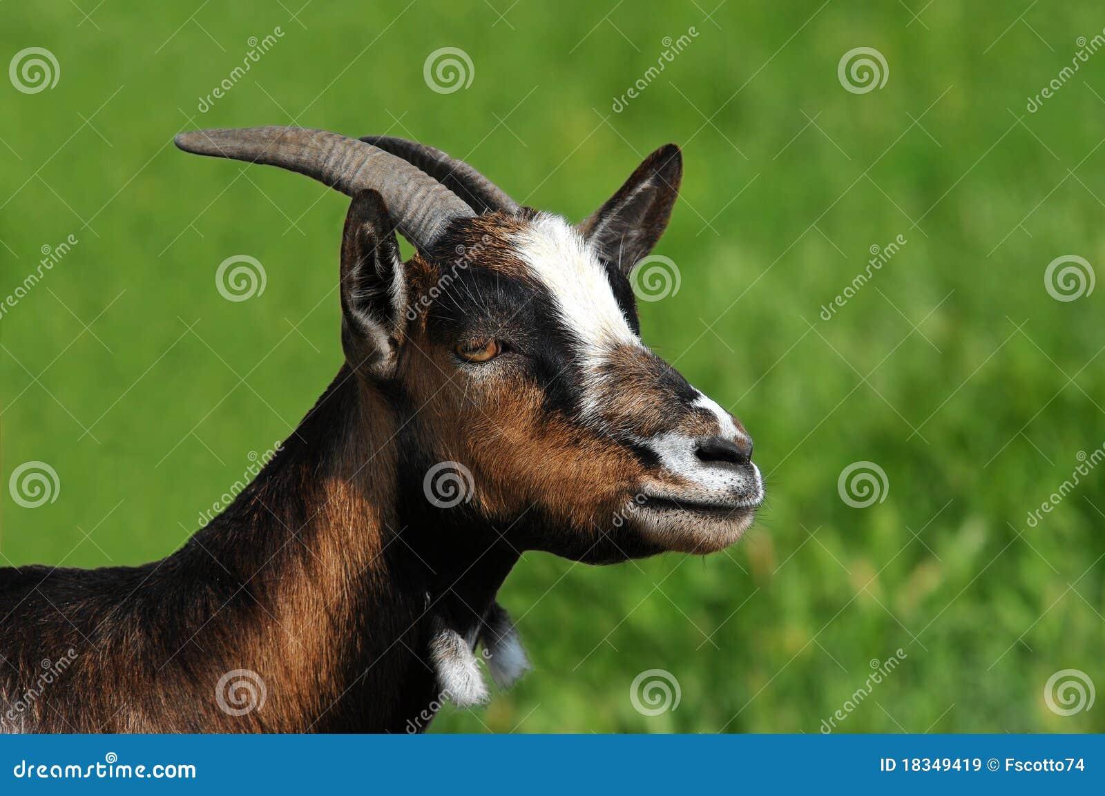 Primo piano della capra immagini stock libere da diritti - Immagini da colorare capra ...