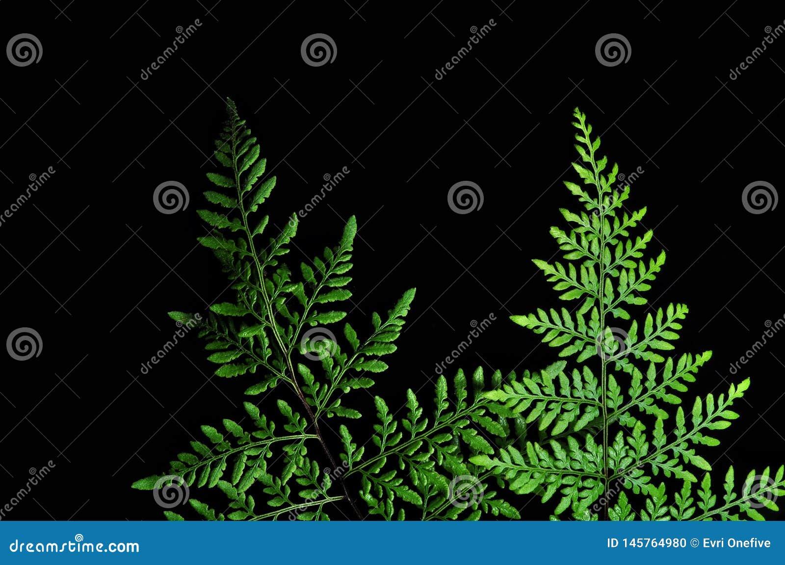Primo piano della foglia verde della felce isolata su fondo nero