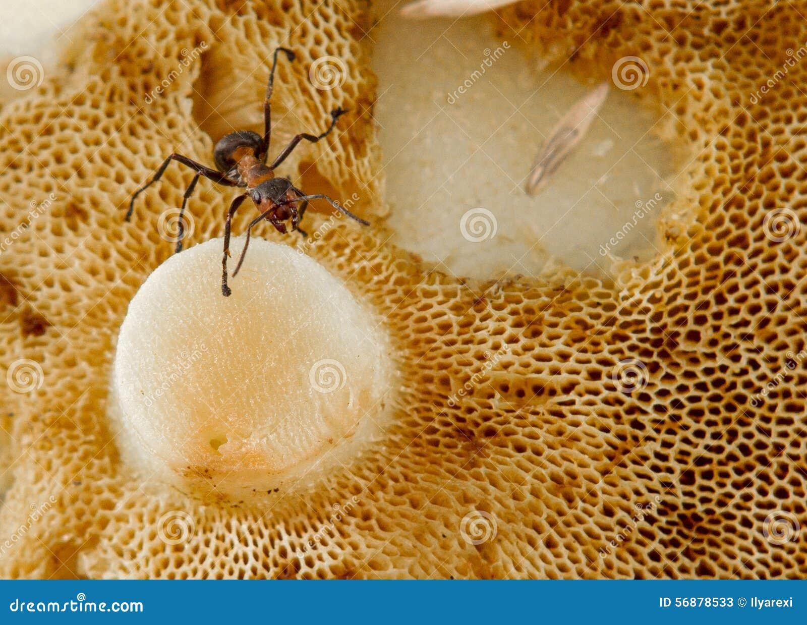 Primo piano della formica sul fungo