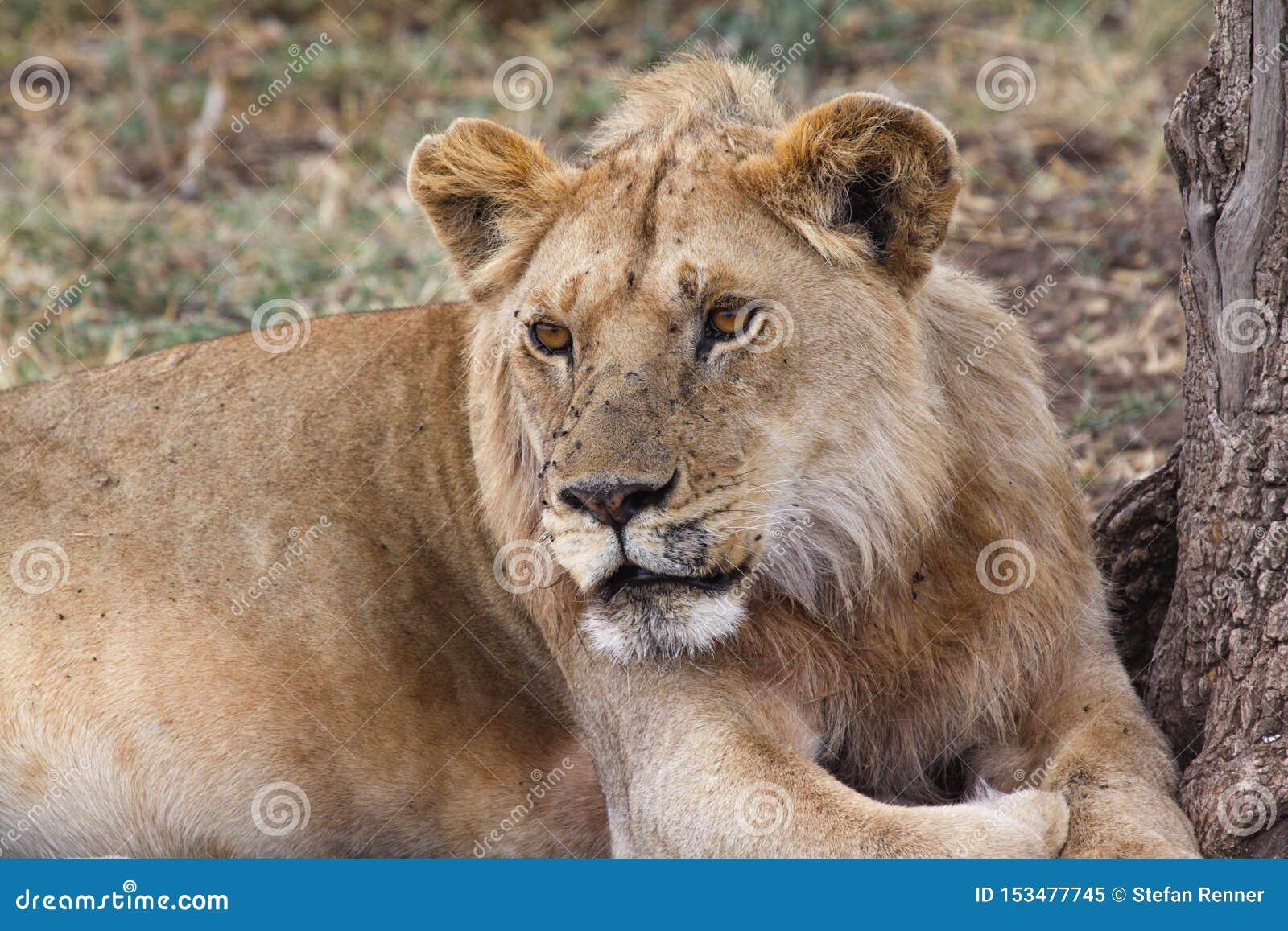 Primo piano della leonessa