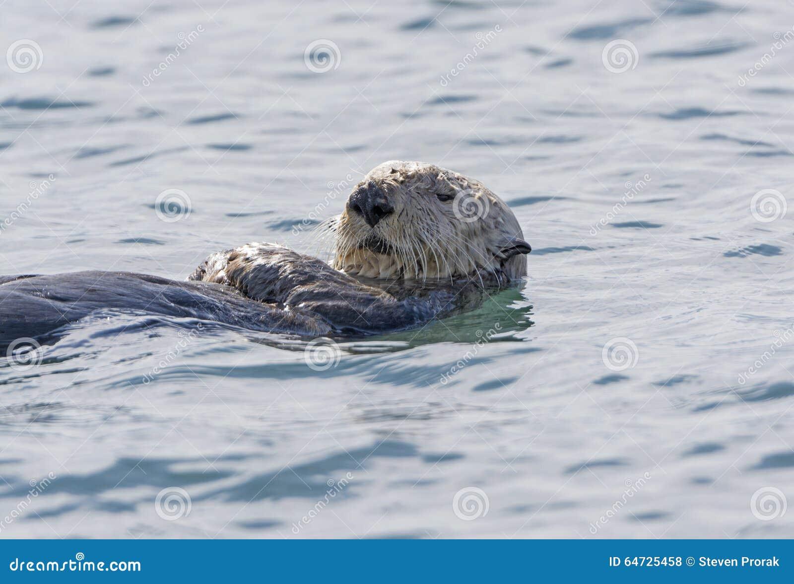 Primo piano della lontra di mare
