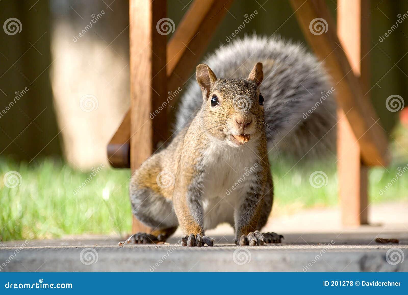 Primo piano dello scoiattolo grigio con la noce