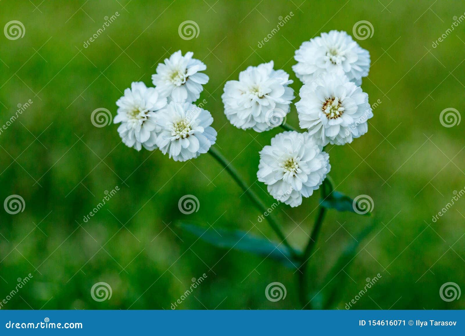 Primo piano di bello fiore bianco su uno sfondo naturale verde vago Bello fiore di fioritura bianco nel giardino