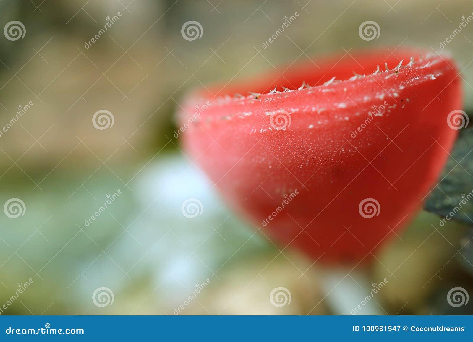 Primo piano di Champagne Glass Mushroom o dei funghi di tazza rossi nella foresta pluviale della Tailandia