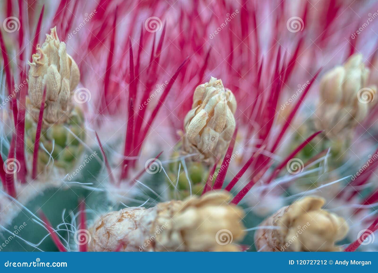 Primo piano di fioritura del cactus del deserto