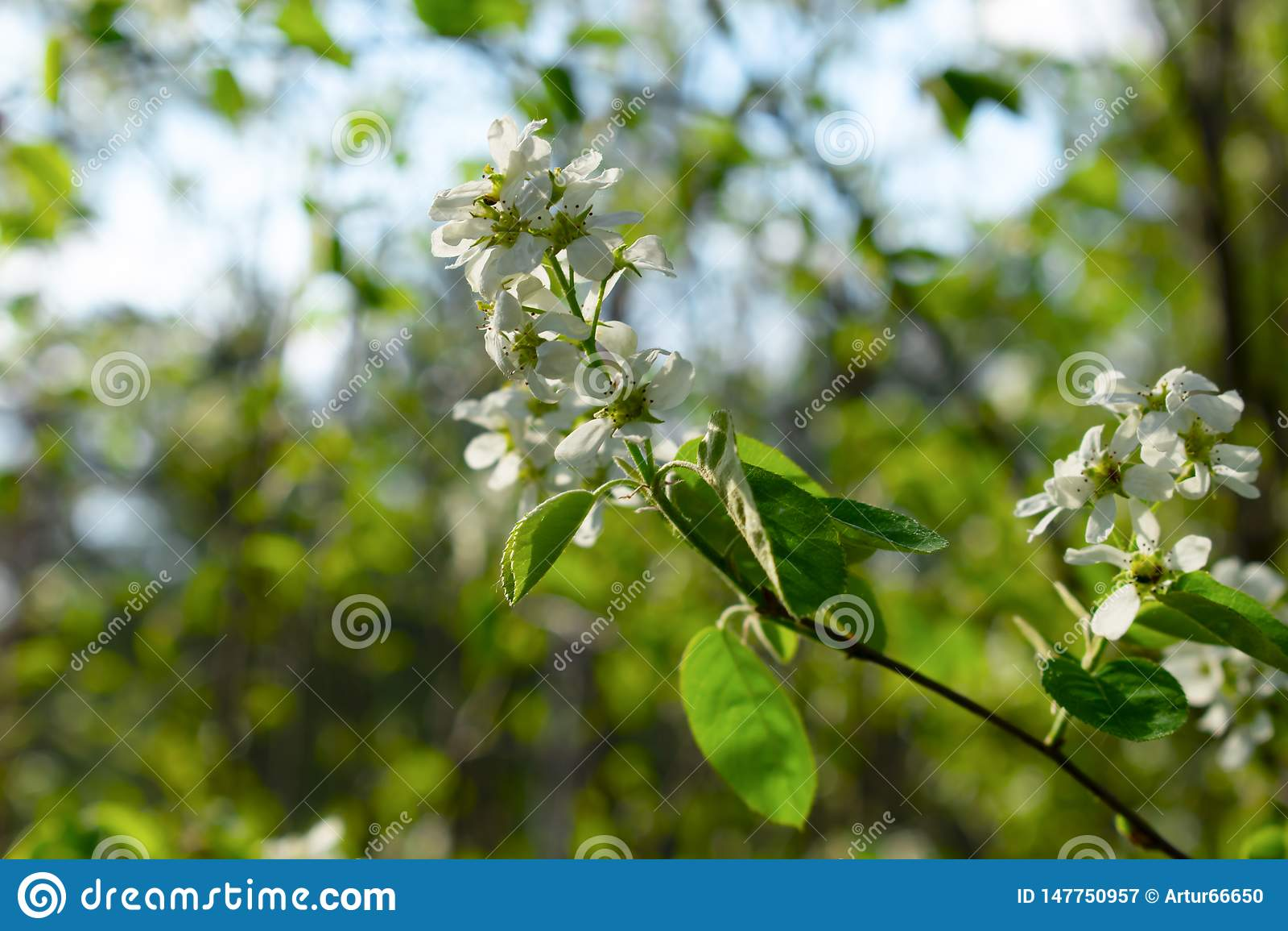Primo piano di fioritura del ramo di albero con fondo vago