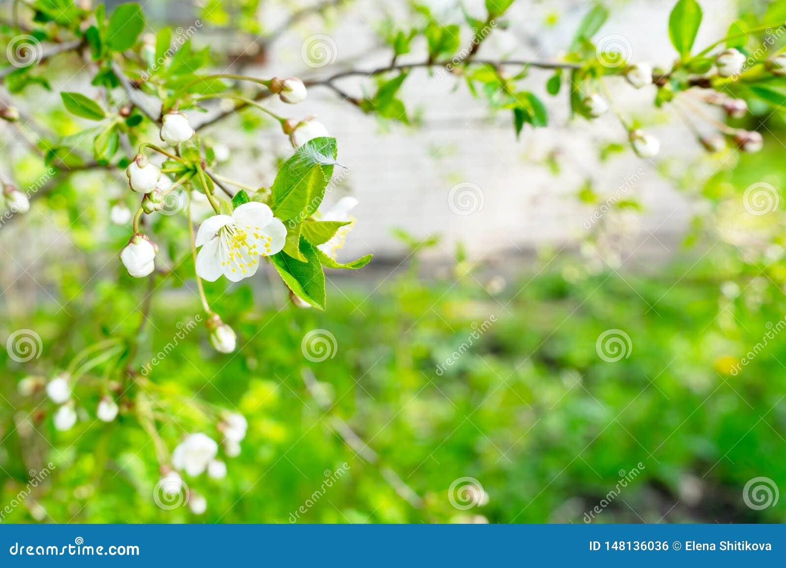 Primo piano di fioritura della ciliegia I fiori sono bianchi