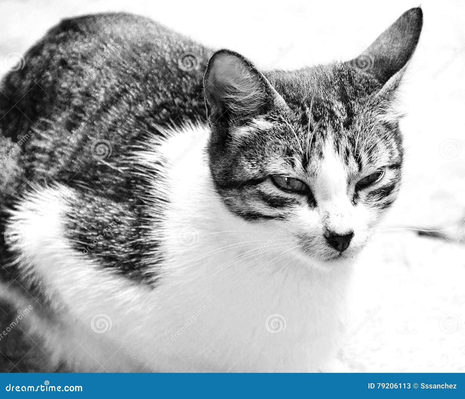 Primo piano di grande distogliere lo sguardo del gatto for Piano di abbozzo domestico