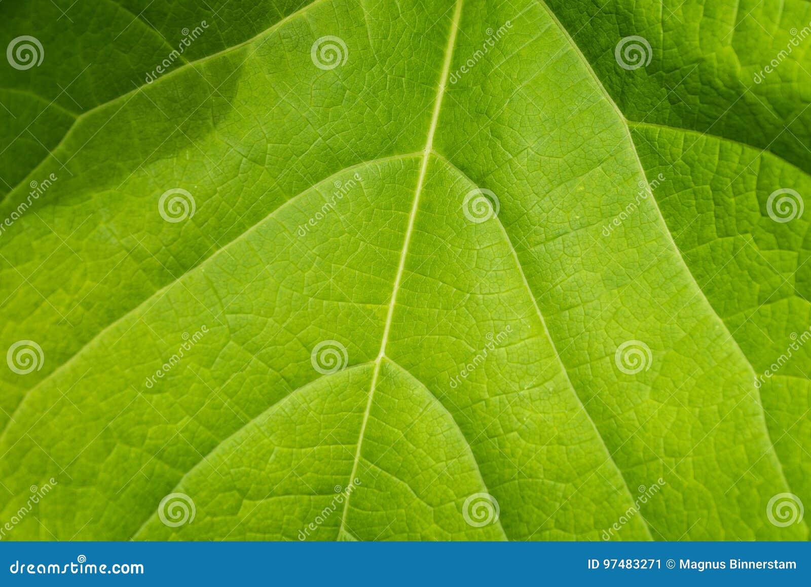 Primo piano di grande foglia verde di estate