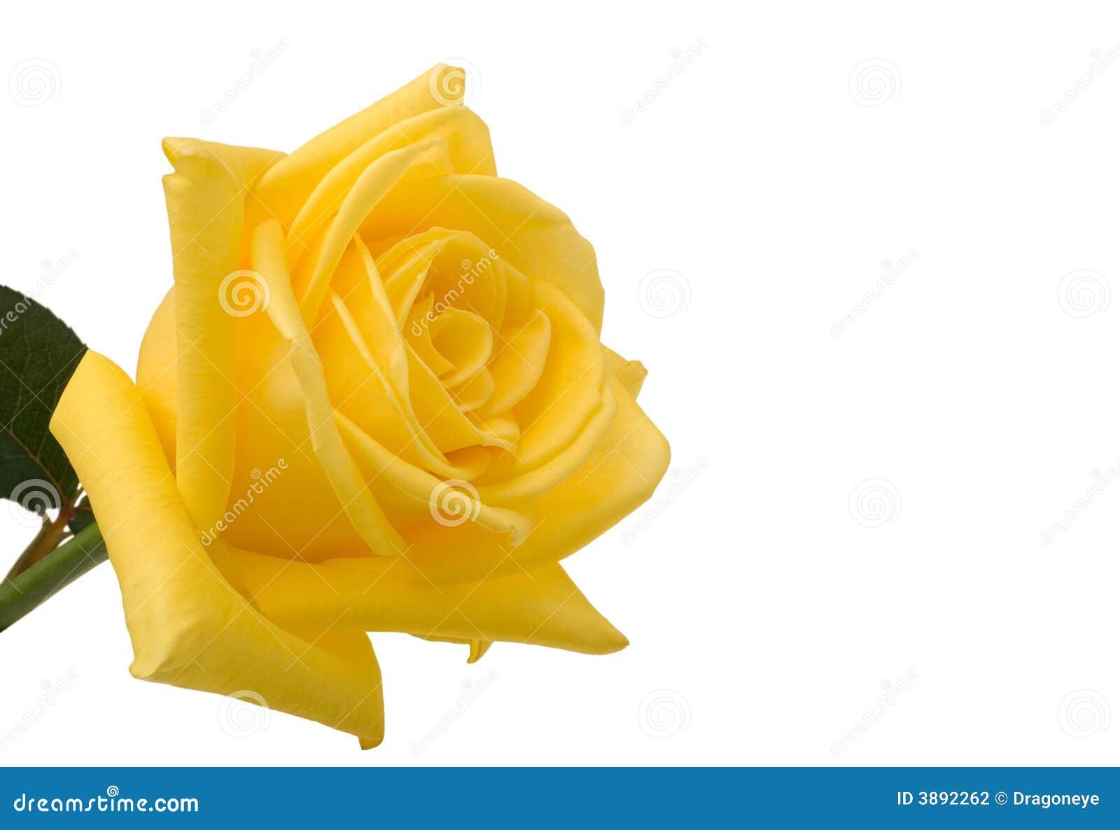 Primo piano di rosa di colore giallo con bianco fotografia for Oggetti di colore giallo