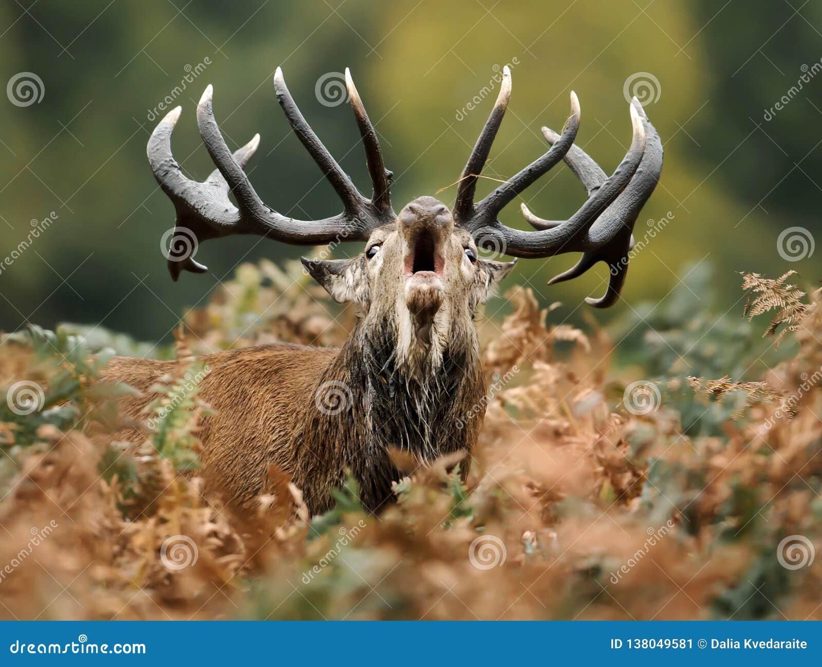 Primo piano di un cervo nobile che rugge durante la carreggiata