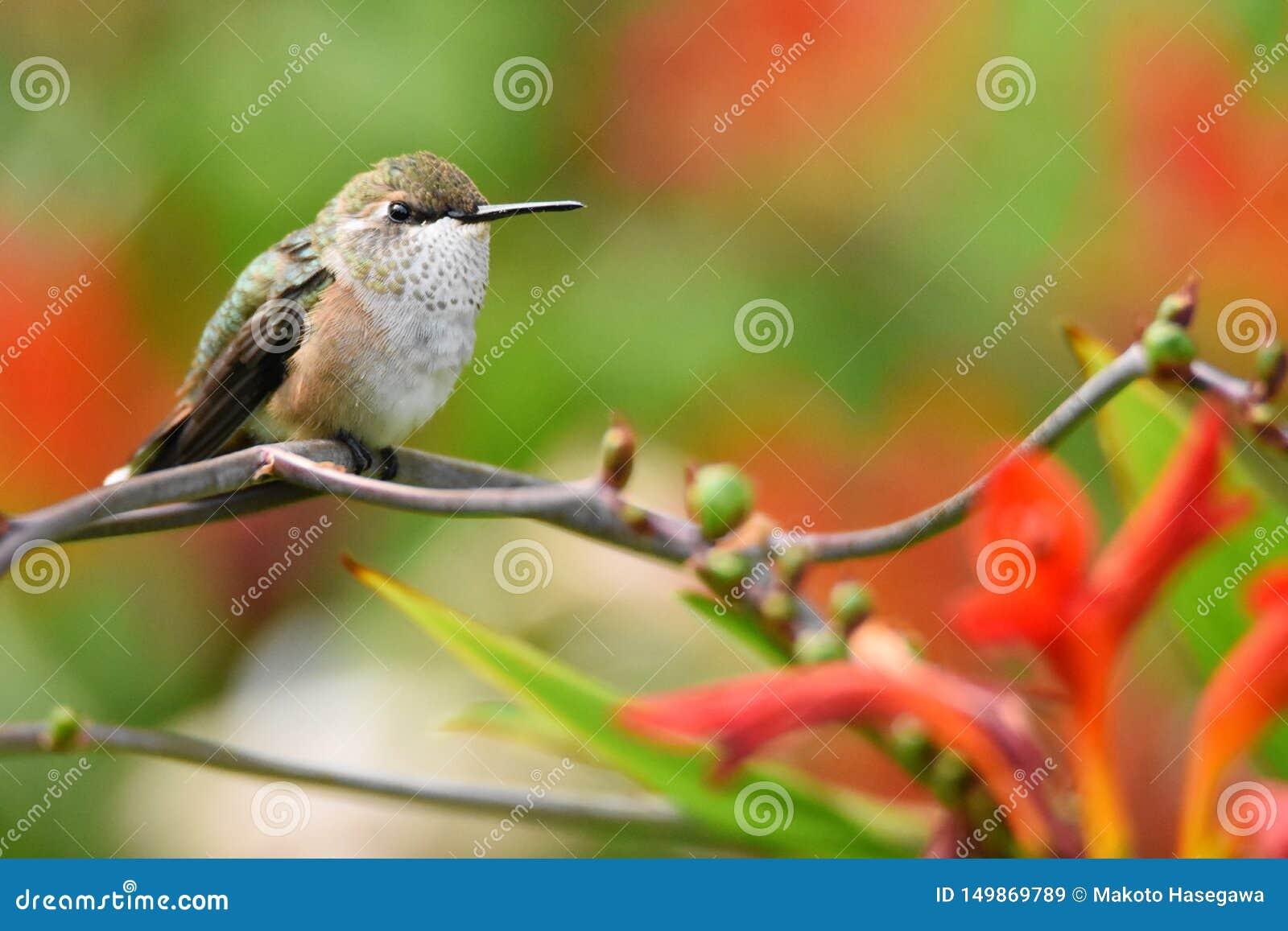 Primo piano di un colibrì Rufous femminile appollaiato su un ramo con lo spazio della copia