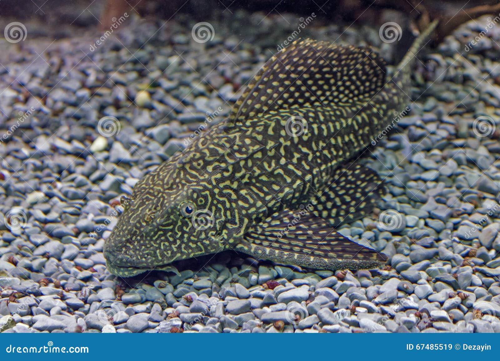 primo piano di un pesce gatto tropicale del redtail