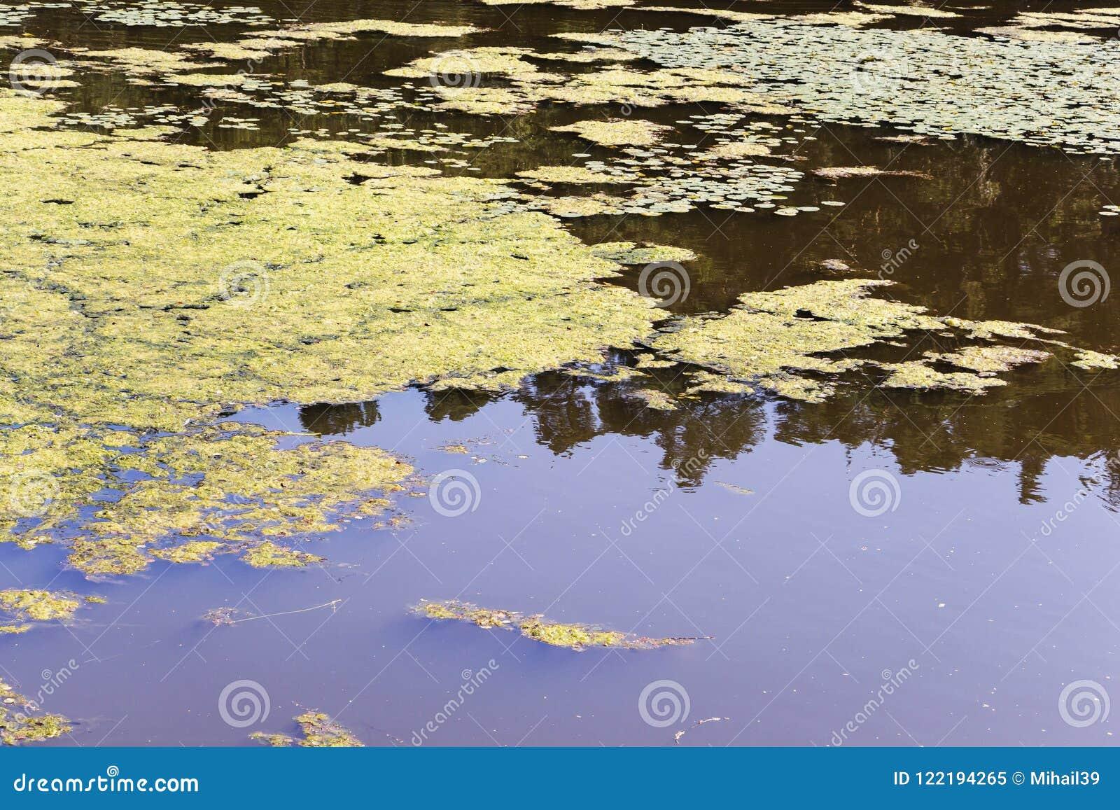 Primo piano di una fioritura d alghe in un piccolo corpo di sofferenza d acqua dolce dall eutrofizzazione severa