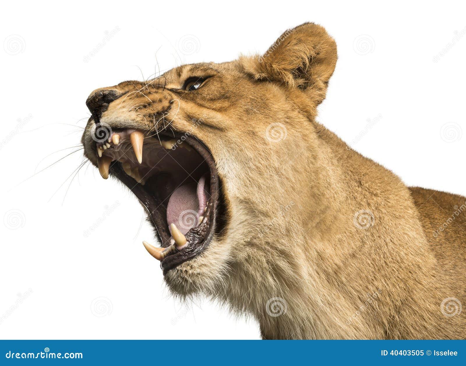 Primo piano di una leonessa che rugge, panthera Leo, 10 anni