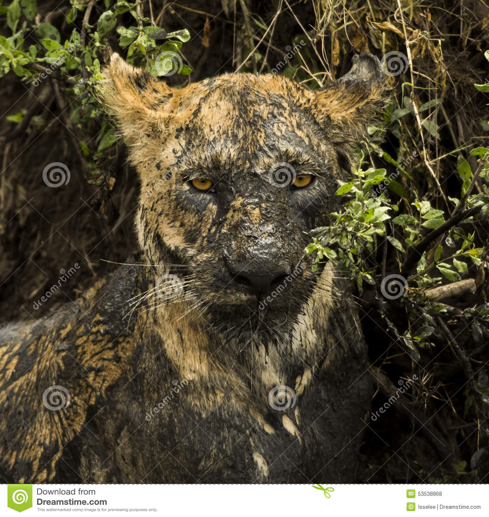 Primo piano di una leonessa sporca, Serengeti, Tanzania