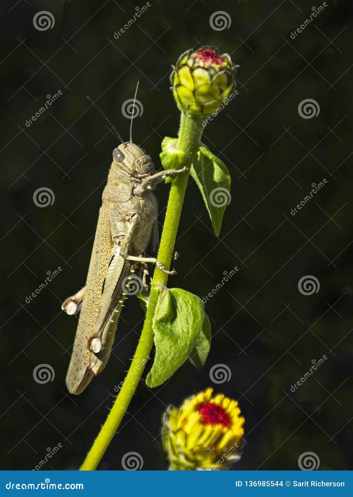 Primo piano di una locusta egiziana che aderisce all zinnia