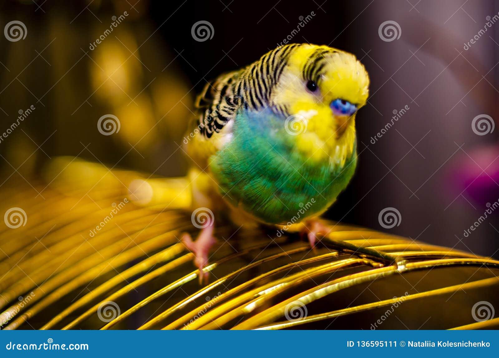 Primo piano di una museruola di un uccello ondulato del pappagallo con un fondo vago mughum