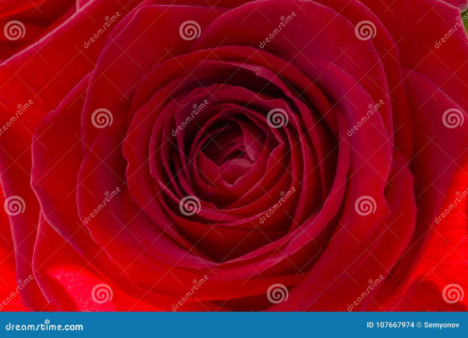 Primo Piano Di Una Rosa Rossa Fresca Grande Mazzo Di Rose Rosse