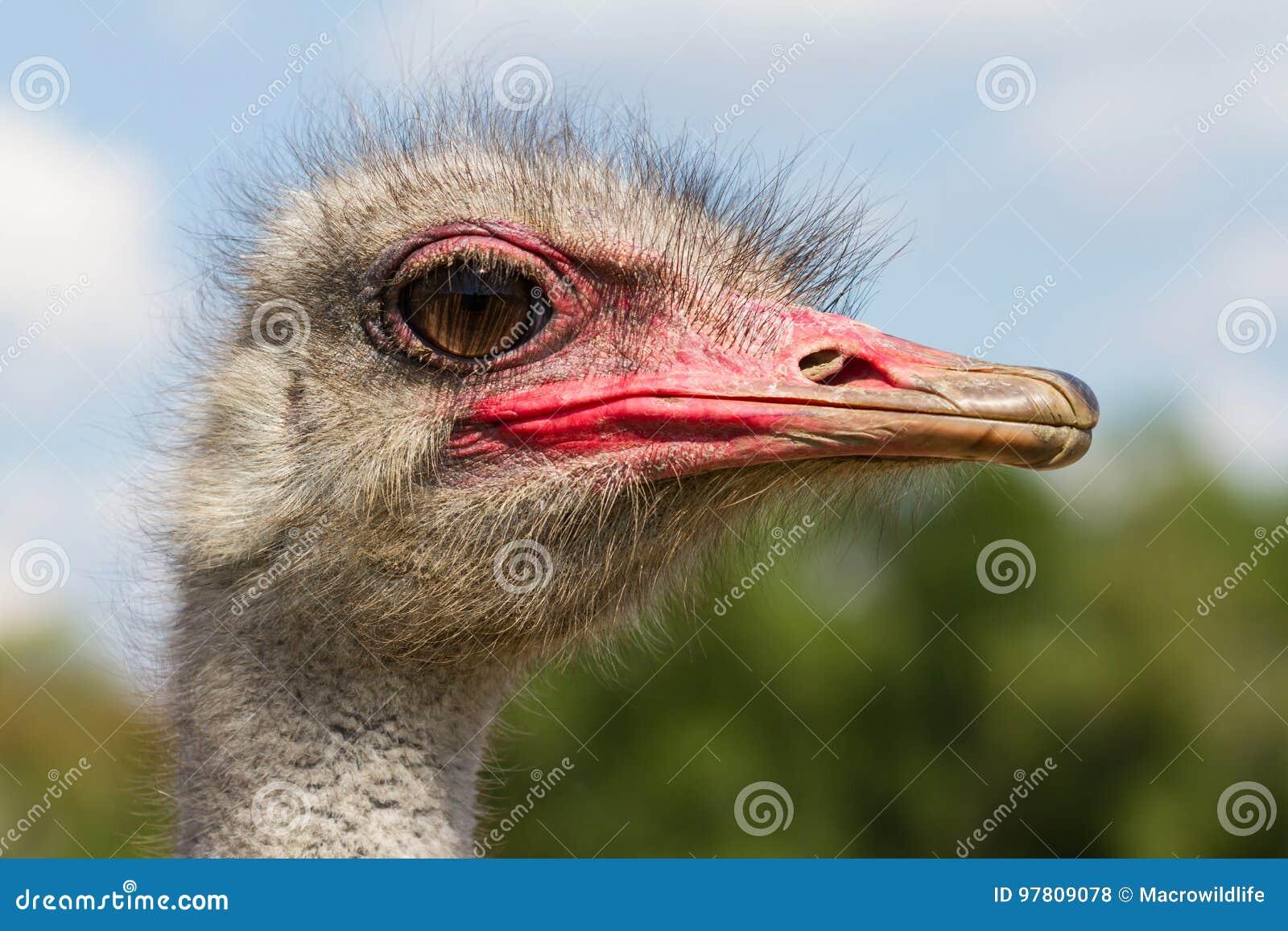 Primo piano divertente della testa del maschio dello struzzo con il grande occhio ed il becco rosa con fondo verde ed il fuoco se