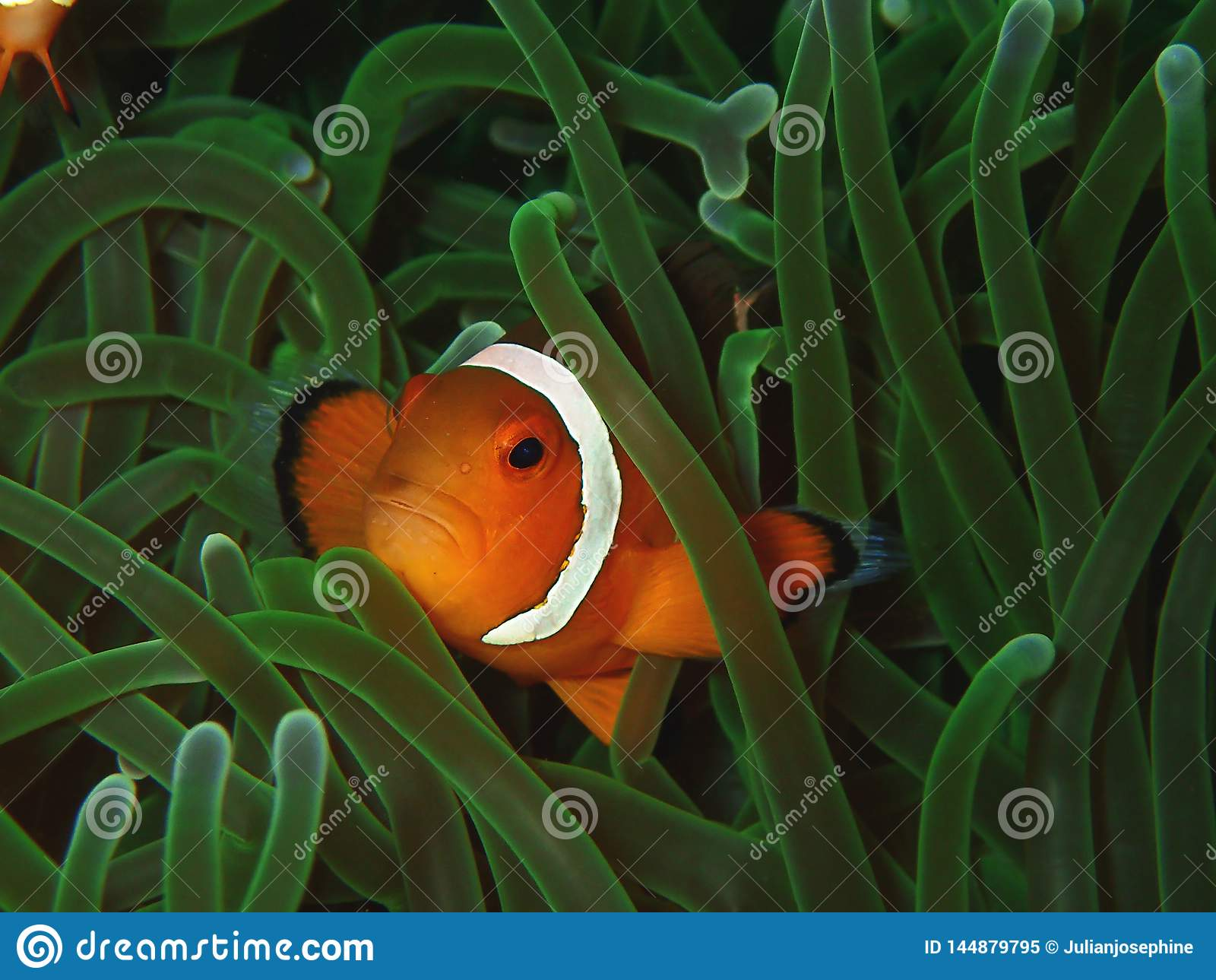 Primo piano e macro colpo del pesce occidentale del pagliaccio o del pesce di anemone La bellezza del mondo subacqueo, Sabah born