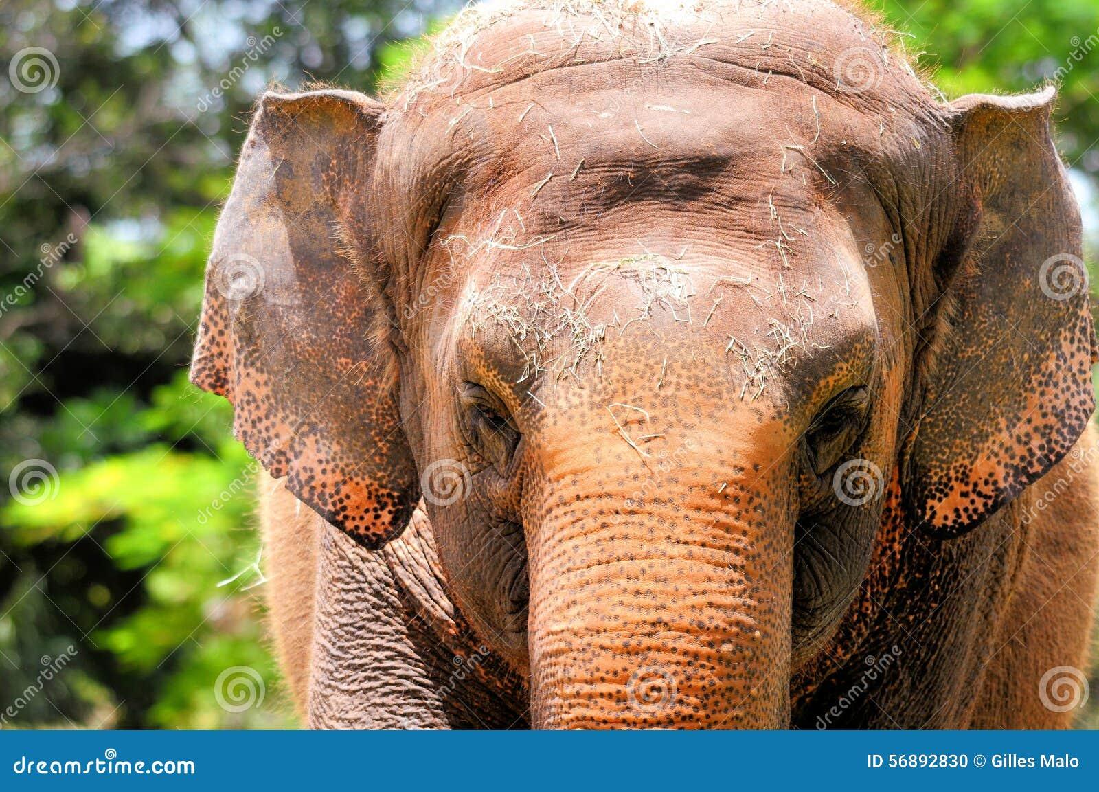 Primo piano femminile dell elefante