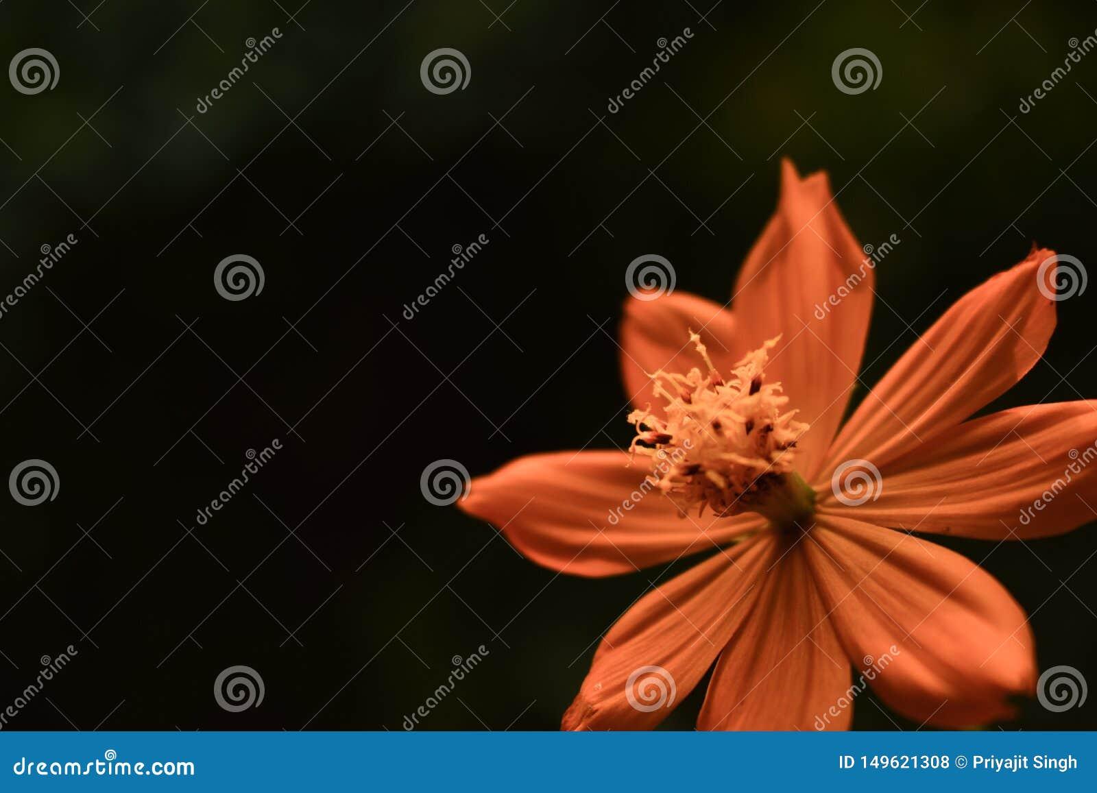 Primo piano giallo arancione del fiore di Tickseed di Coreopsis