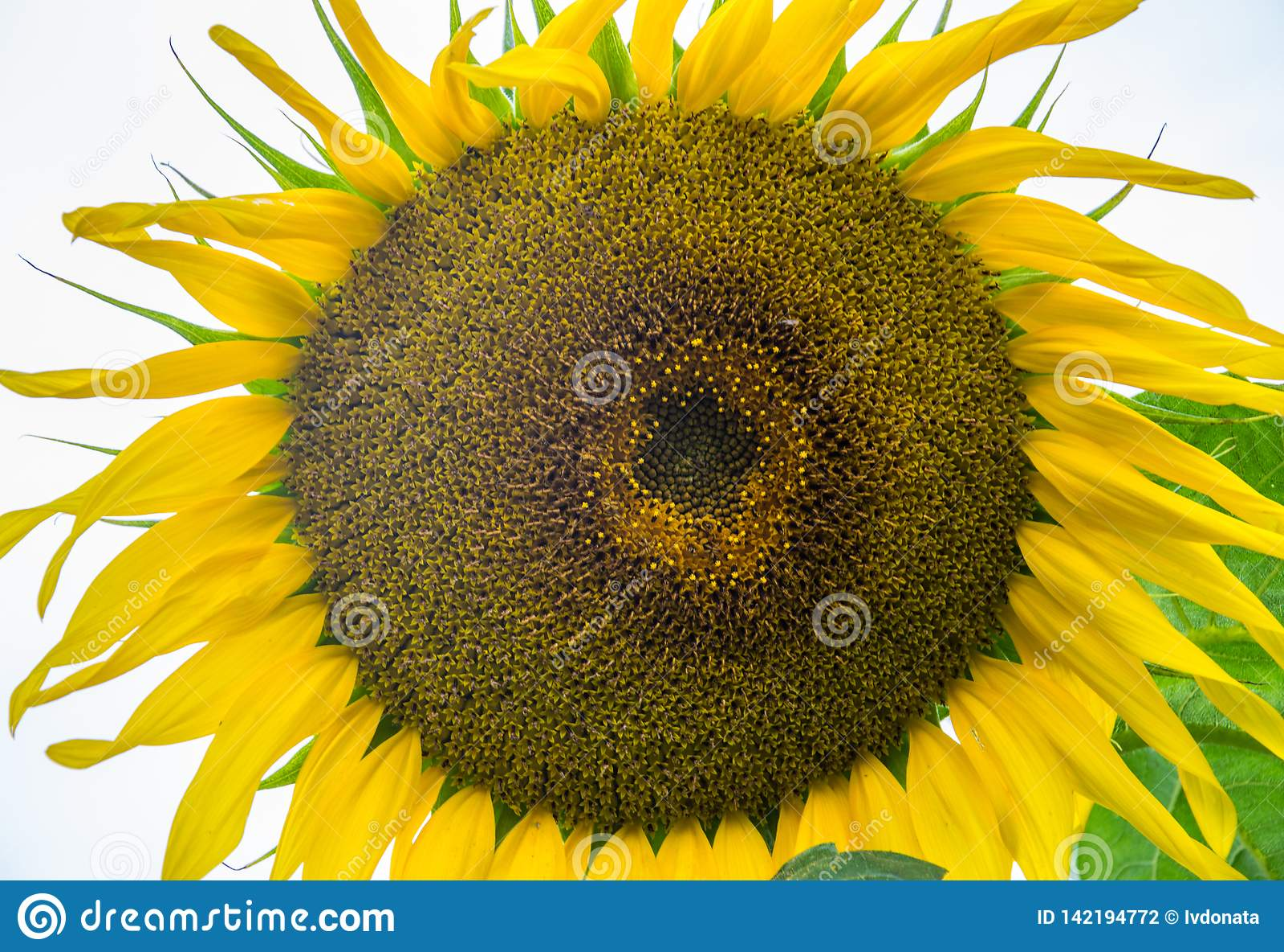 Primo piano giallo del girasole Fiore di Suflower