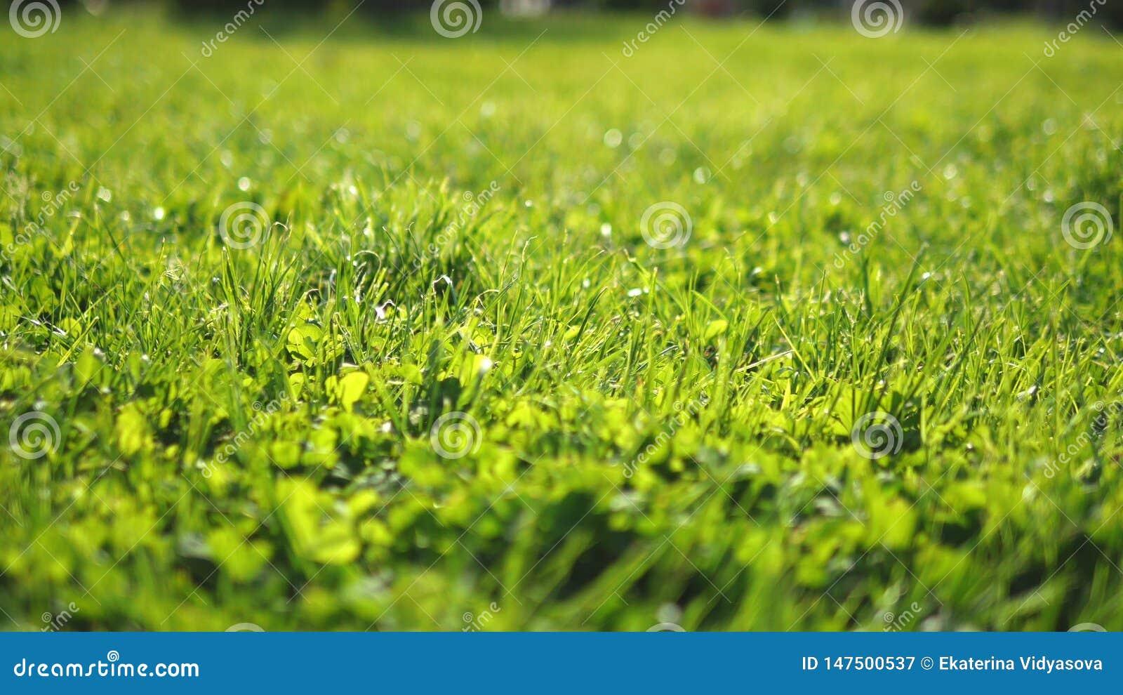Primo piano giovane erba sistemata verde succosa al sole, fondo fresco luminoso, struttura